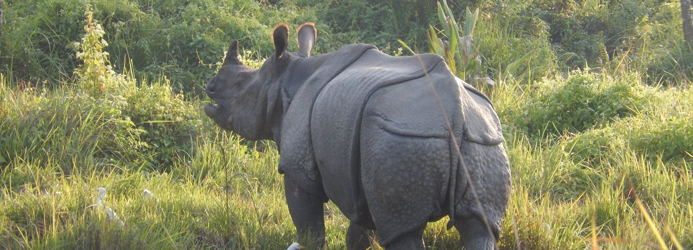One Horned Rhino in the chitwon national park